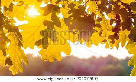 Shape of yellow oak tree leaves in warm sun light. Backlit flares through the foliage.