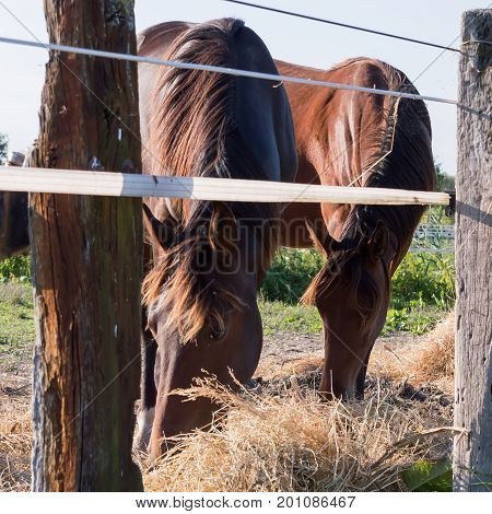 Portrait of two beautiful horses eating.Beauty in nature