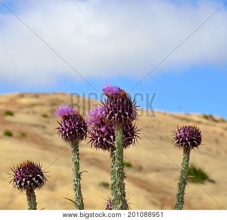 Wild thistles in full bloom, endemic wild plant of Gran canaria island