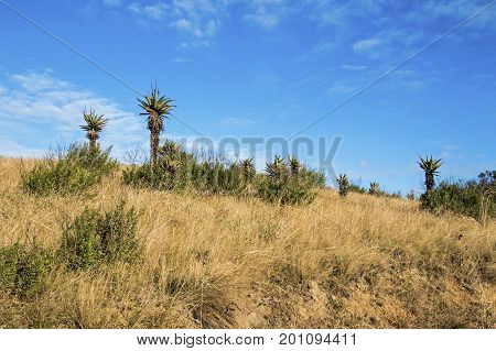 Aloe Plants And Winter Grassland Against Blue Cloudy Sky