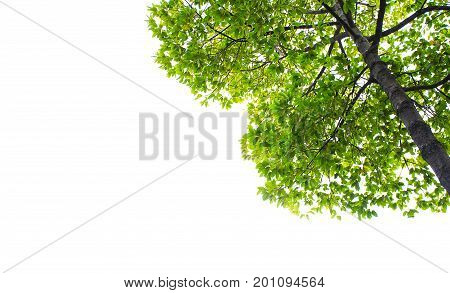 Green leaves tree  isolated on white background with clipping path Perspective and underside angle view of tree