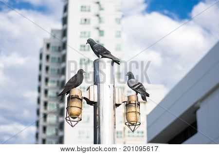 Many pigeon on the streetlamp against blue sky and building background.Freedom concept