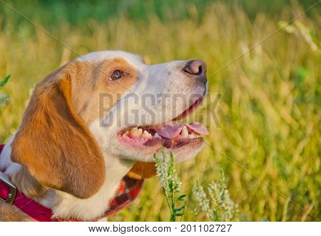 Happy beagle puppy in the sunlight (against the background of grass)