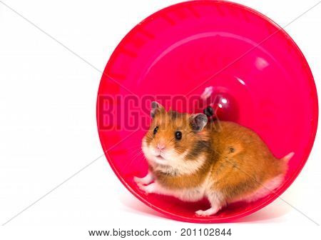 Cute Syrian hamster looking out of a bright pink hamster wheel (isolated on white with copy space on the left for your text)