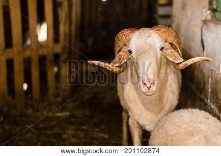Sheep Sold In The Animal Market For The Sacrifice Feast In Turkey.