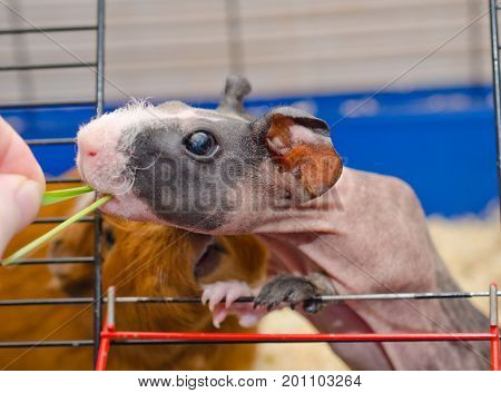 Funny skinny guinea pig baby looking out of a cage and taking green grass from a human hand (against the background of another pig) selective focus on the guinea pig eye