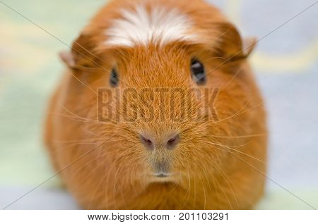 Portrait of a cute guinea pig against a bright background (selective focus on the guinea pig nose)
