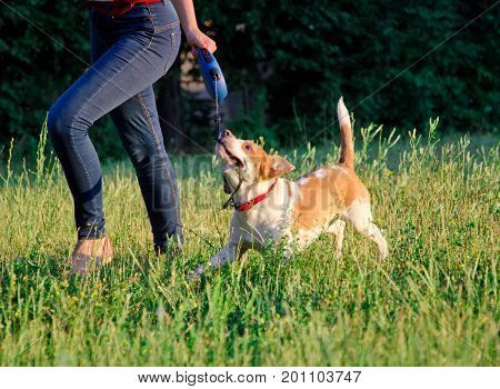 Cute playful beagle puppy running next to its owner and pulling its leash with its teeth