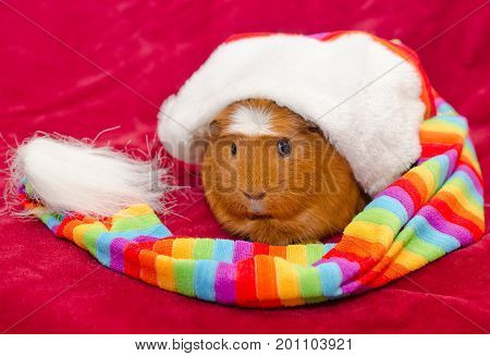 Funny guinea pig wearing an oversized long multicolored hat (on a red background)