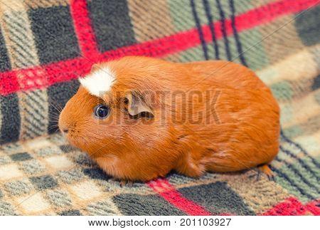 Cute guinea pig sitting on a sofa (retro style)
