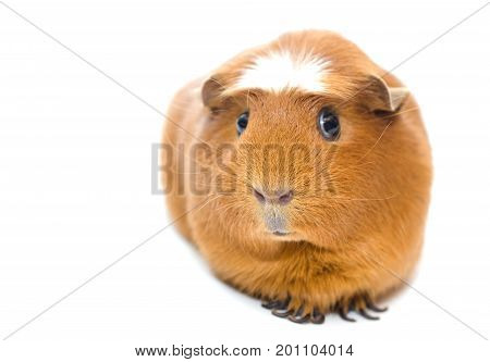 Cute funny guinea pig isolated on white (shallow DOF selective focus on the guinea pig nose) with copy space on the left