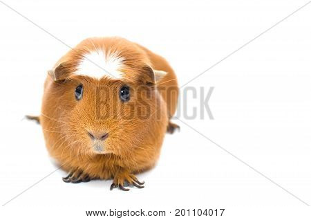 Cute funny guinea pig isolated on white (shallow DOF selective focus on the guinea pig nose) with copy space on the right