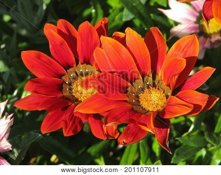 RED AND ORANGE GAZANIA FLOWERS, WITH A GREEN BACK GROUND