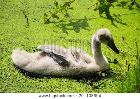 Grey cygnet swims in a lake with duckweed.