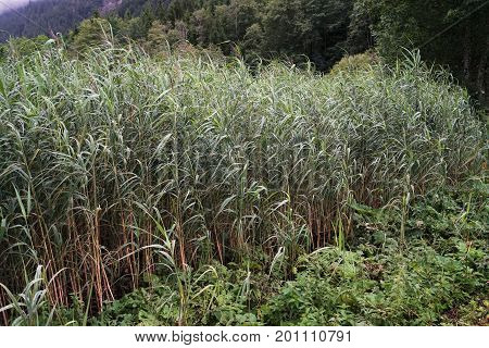 Reed in a mountain lake in summer
