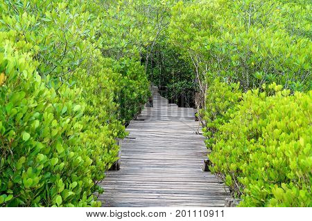Long wooden path among vibrant green Indian Mangrove or Spurred Mangrove forest of Rayong province, Thailand