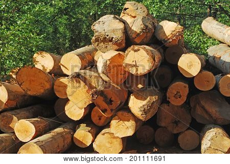 pile of beech logs timber and deforestation