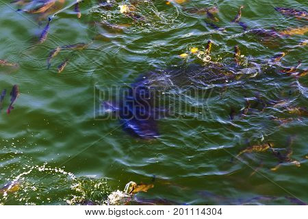 Fish catfish and ide live in ponds to cool the Chernobyl nuclear power plant. Dead radioactive zone. Consequences of the Chernobyl nuclear disaster August 2017.