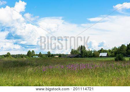 Rural Landscape With Blooming Ivan-tea.