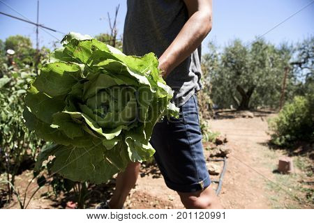 closeup of a young caucasian man with a romaine lettuce freshly collected in an organic orchard