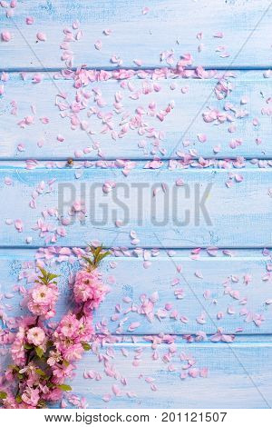 Background with pink sakura flowers on blue wooden planks. Selective focus. Place for text. Flat lay.Top view.