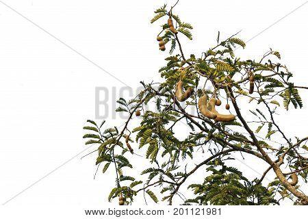 Tamarind tree isolated on white background,Healthy fruit