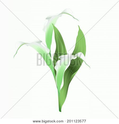 Calla lily white flowers and leaves herbaceous perennial ornamental plants vintage vector illustration editable hand draw