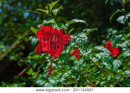The Flowers Are Red On A Background Of Green Leavess. Borneo, Malaysia