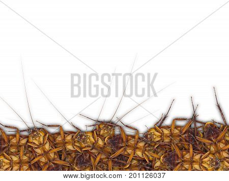 Close up of dead cockroaches isolate on white background with space for text.