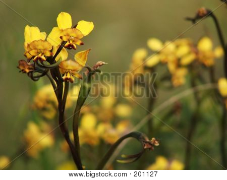 Flower - Donkey Orchid