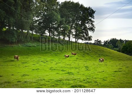 Brown cow in a meadow on a hill in the Gaume countryside