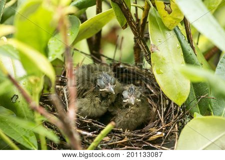 Two nine day old newborn Cardinal birds in their birds nest looking at the camera as if they know they are leaving the nest the following day.