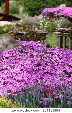 The drought-resistant phlox well grows at tops of garden hills. At plentiful flowering forms motley carpets of bright tones.