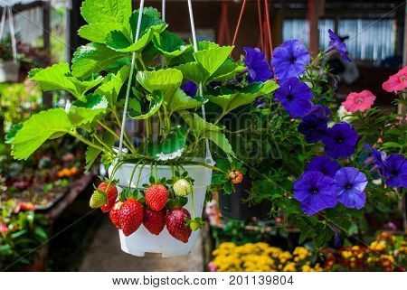 Flowers And Strawberries In Pots. Flowers At The Farmers ' Market In Malaysia