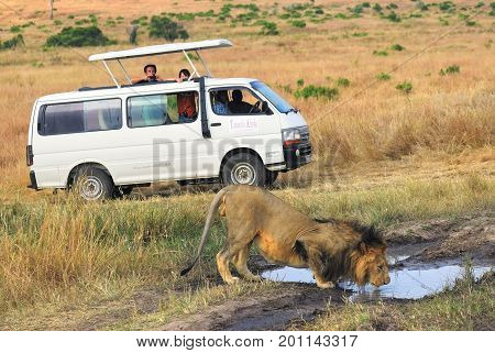 Masai Mara Kenya - August 21 2010 : Tourists in a safari minibus shooting one male lion drinking water from puddle on the road at evening time