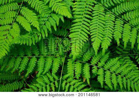 Undergrowth ferns in a forest in eastern Finland