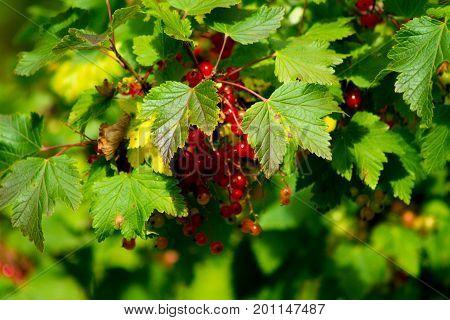 Plenty of redcurrant berries in a garden