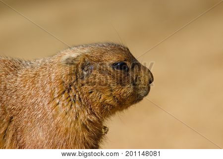 Head of black tailed prairie dog. Sideview close up portrait