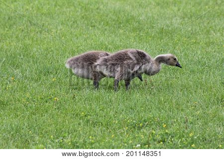 Fuzzy little goslings (Canada Geese) about 2 months old playing in the grass and foraging for food,