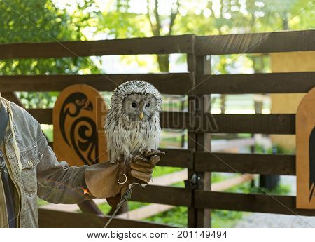 owl bird of prey with a white speckled feathers sitting on a human hand in the glove in the sun