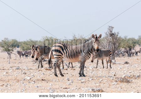 A pregnant Hartmann Mountain Zebra mare Equus zebra hartmannae in North-Western Namibia