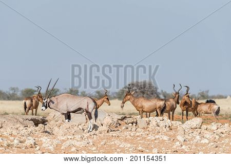 An Oryx Oryx gazella with visible wounds and red hartebeest Alcelaphus buselaphus caama at a waterhole in Northern Namibia