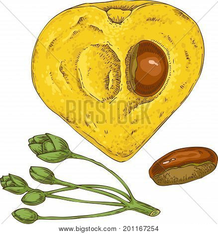 Ripe Yellow Canistel or Eggfruit in Cross Section with Seed Isolated on a White Background