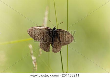 A ringlet butterfly (Aphantopus hyperantus) in a meadow.