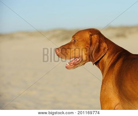 Vizsla dog head shot against sand beach