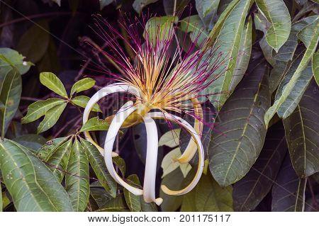 Beautiful Pachira aquatica flower in Tortuguero NP - Costa Rica