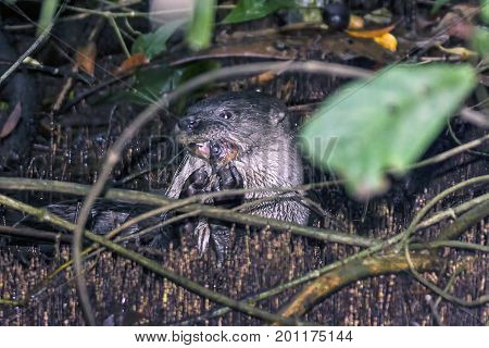 Otter eating fish in Tortuguero under a submerged tree, Tortuguero National Park - Costa rica