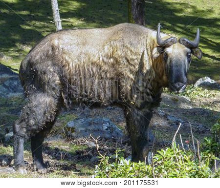 The 'Dong Gyem Tsey' or Takin has been chosen as the National Animal of Bhutan because it is unique, rare and native to Bhutan. It is associated to religious history and mythology of the country.