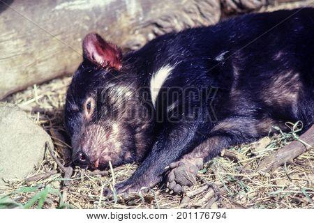 sleeping tasmanian devil close up, australia, exotic endangered mammal, marsupial