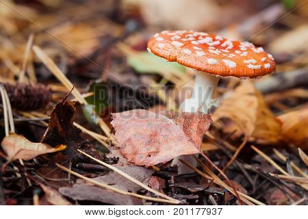 Poisonous Amanita close-up in deciduous forest, poisonous inedible toadstool, but very beautiful mushroom in bright sunny autumn day amongst the fallen leaves, autumn colors